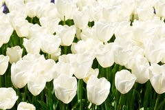 White tulip flowers Royalty Free Stock Image