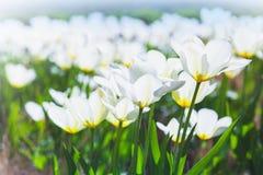 White tulip flowers in spring garden Royalty Free Stock Photos