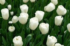 White tulip flowers in spring garden, park.  royalty free stock photography