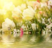 White tulip flowers Stock Image