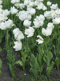 White tulip flowers Stock Images