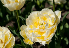 White tulip in the garden Stock Photography