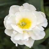 White tulip in garden royalty free stock photo