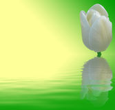 White tulip on green and yellow background. With water vawes Royalty Free Stock Images