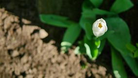 White tulip on the ground background a top view.  stock video