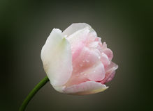 White tulip. Isolated close up Stock Photography