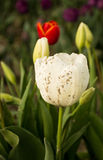 White Tulip with Mud Splatter Stock Images