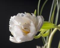 White tulip over grey background. Stock Photo
