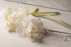 White tulip over wooden background. Royalty Free Stock Image