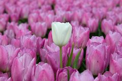 White tulip and pink tulips Royalty Free Stock Photo