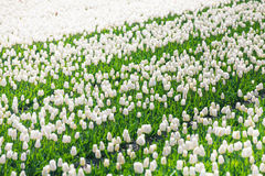 White tulip rows view during sunny day in summer Stock Images