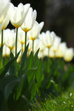 White tulip rows in warm light. Beautiful fragile white glowing tulips in warm light Stock Photography