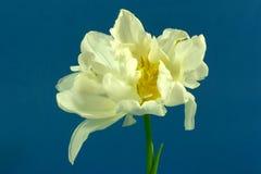 White tulip Stock Photos