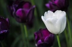 White Tulip Royalty Free Stock Photos