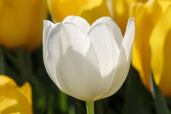 White tulip proteus Royalty Free Stock Images