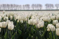 "White tulip type ""white flag"" isolated in sunlight in rows in a. Long flower field in Oude-Tonge on the island Goeree Overflakkee in the Netherlands Royalty Free Stock Images"