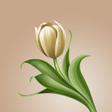 White tulip vintage floral illustration, isolated flower design element Stock Photography