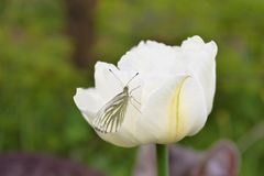 White tulip with a white butterfly in garden. Royalty Free Stock Photo