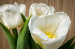 White tulip Stock Photography