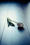 White Tulip Stock Photography