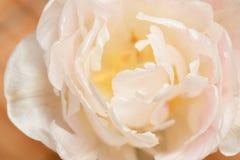 White tulip with yellow pistils.  Stock Photo