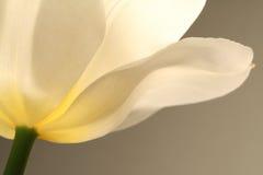white tulipanowy Obrazy Stock