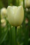 white tulipanowy Zdjęcia Stock