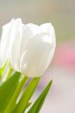 white tulipanowy Obraz Stock