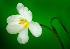 white tulipanowy Obrazy Royalty Free