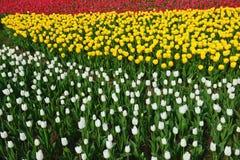 white tulipanowy kwiatek izolacji Fotografia Stock