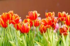 white tulipanowy kwiatek izolacji Zdjęcie Royalty Free