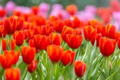white tulipanowy kwiatek izolacji Zdjęcie Stock