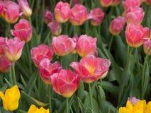 white tulipanowy kwiatek izolacji fotografia royalty free