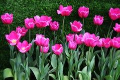 white tulipanowy kwiatek izolacji Obraz Stock