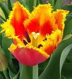 white tulipanowy kwiatek izolacji obrazy stock