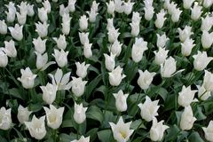 White tulips. Tulip field Royalty Free Stock Photography