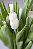 White tulips. Beautiful bouquet of white tulips Stock Image