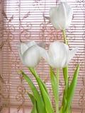 White tulips Royalty Free Stock Photo