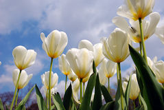 White tulips. View from below of white tulips Royalty Free Stock Photography