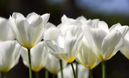 White tulips Royalty Free Stock Photo