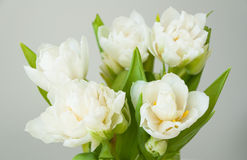 White tulips Valentine day Stock Image