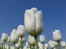 White Tulips. A look from below on white tulips with rain drops Stock Images