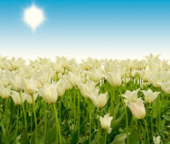 White tulips. Meadow of white tulips and clear blue sky Stock Photo