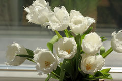 White tulips. Blooming in the spring sunshine Royalty Free Stock Photo