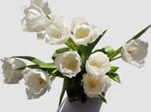 White tulips. Blooming in the spring sunshine Royalty Free Stock Photos