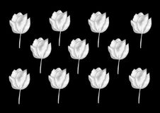 White Tulips. On the black background. Flower graphic art royalty free illustration