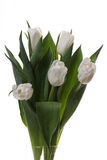 White tulips. White tulips and green leaves on a light background Royalty Free Stock Photography