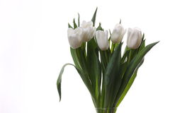 White tulips. White tulips and green leaves on a light background Stock Photos