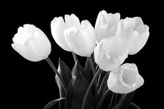White tulips. Black and white image of a beautiful white tulips Royalty Free Stock Image