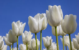 White tulips against a blue sky Royalty Free Stock Photos
